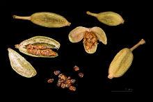 cardamomum-220x147.jpg