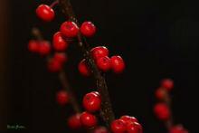 rowan-berry-220x147.jpg